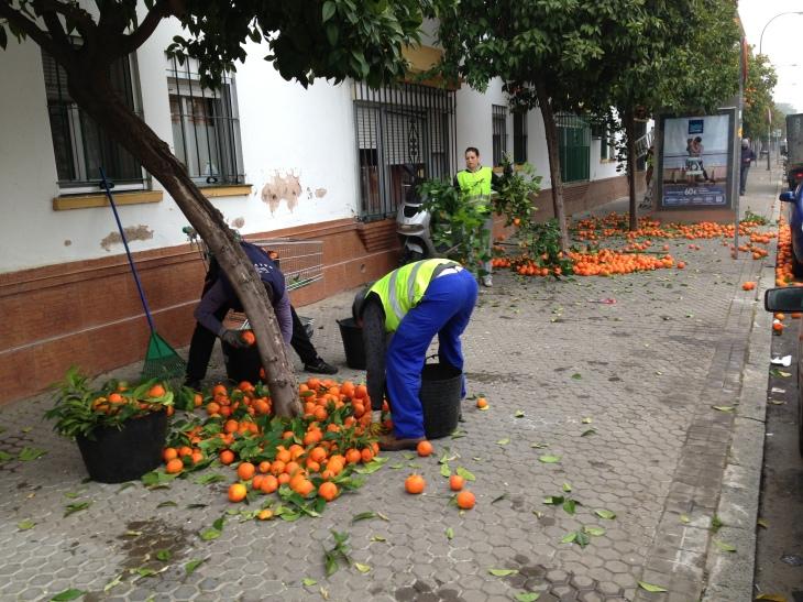 Naranjas amargas de Sevilla