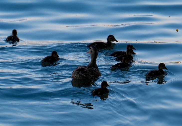 Los patitos en el agua