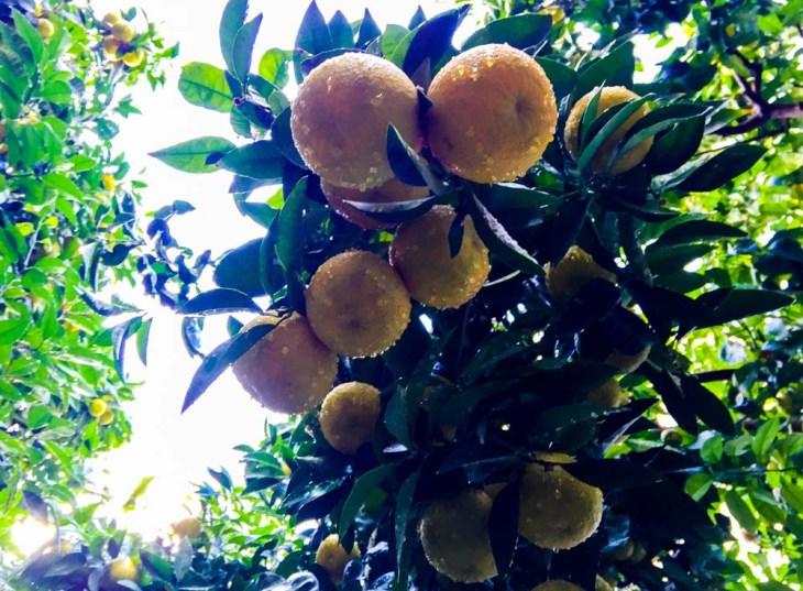 naranjos y lluvia